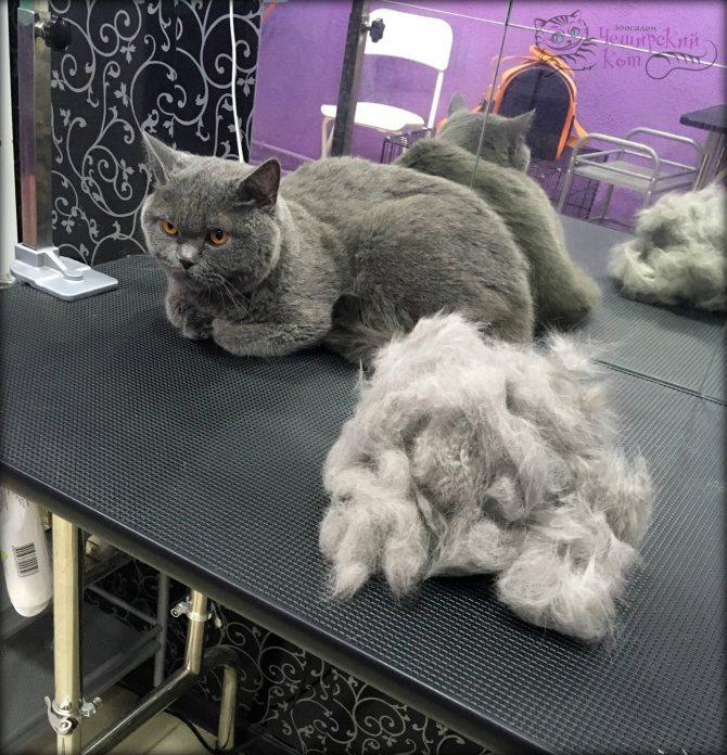 Стрижка кошек и котов, особенности проведения процедуры