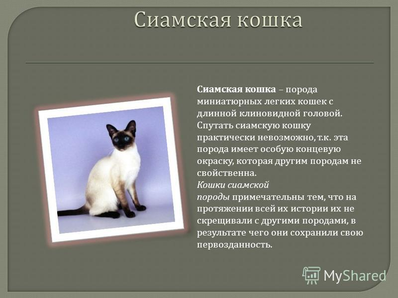 Сиамская кошка: характер, сколько стоит содержание [фото, видео, цена]