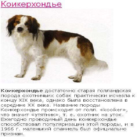 Коикерхондье: описание породы и особенности содержания собак