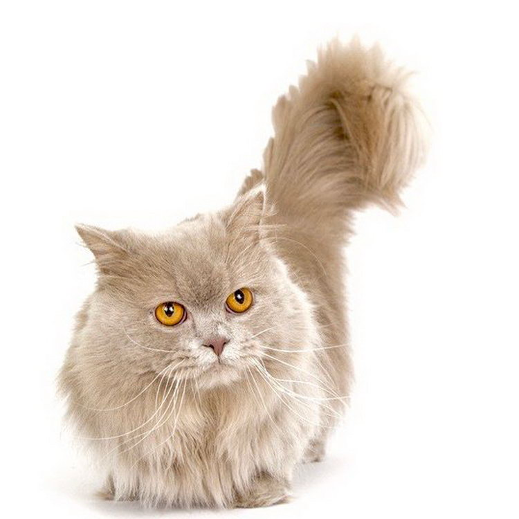 Порода кошек наполеон менуэт: описание с фото, цена котенка
