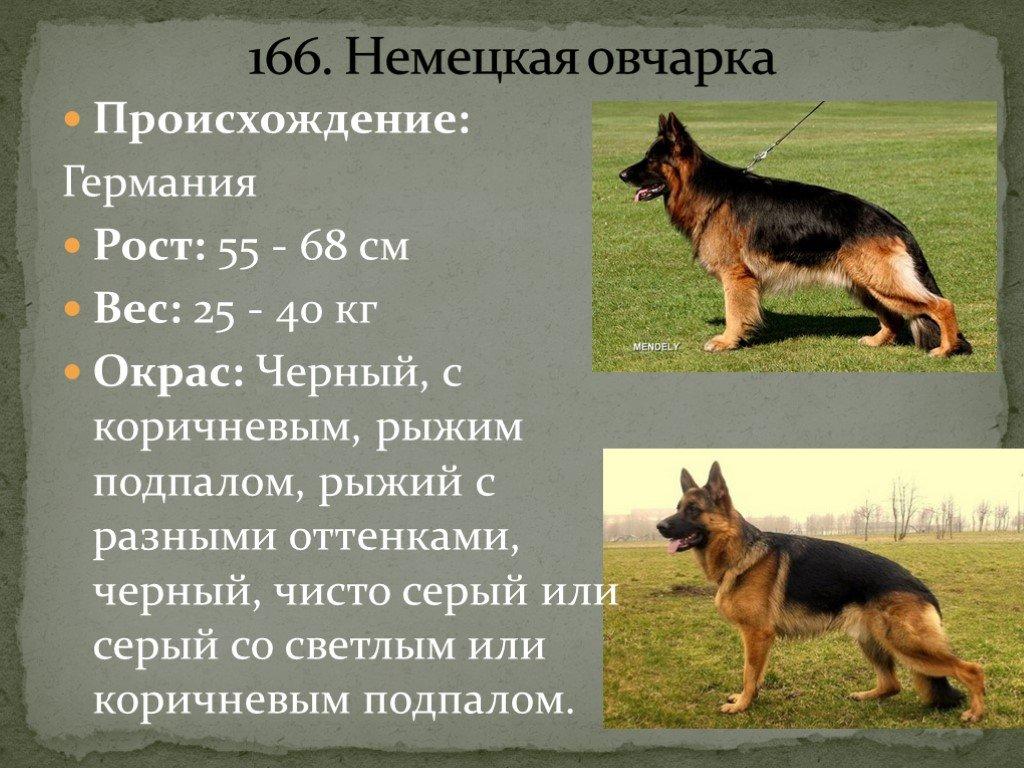Виды овчарок: описание и характеристики пород :: syl.ru