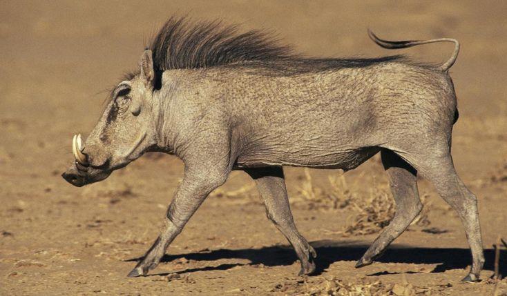 Интересные факты о бородавочнике, дикой африканской свинье