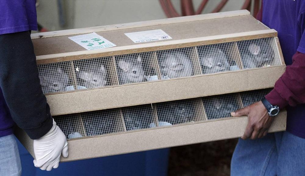 Как спариваются и размножаются шиншиллы в домашних условиях
