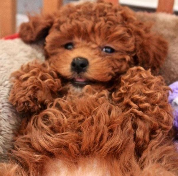 Маленькие породы собак: названия и фото (каталог)