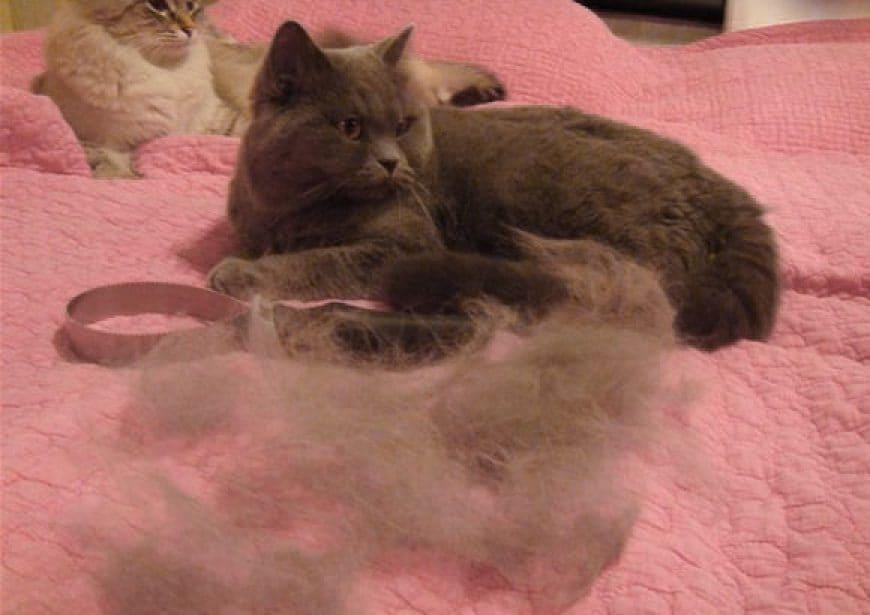У кошки выпадает шерсть: причины. как ухаживать за шерстью кошки.   нвп «астрафарм»