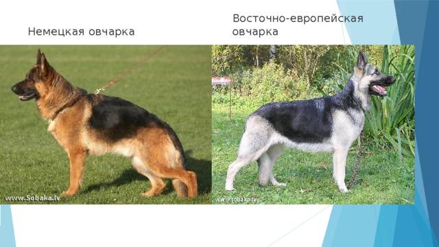 7 отличий между восточно-европейской и немецкой овчаркой: сравнение и кто лучше