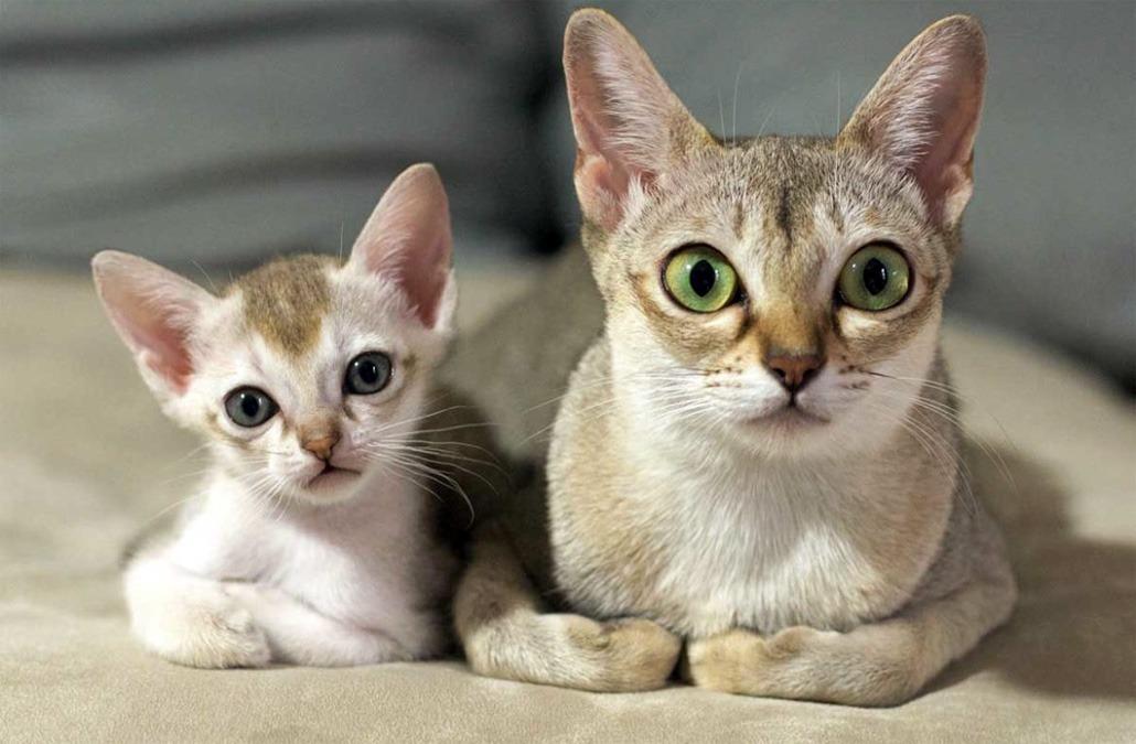 Сингапурская кошка, описание породы, фото, характер, окрас, отзывы, уход, история, здоровье
