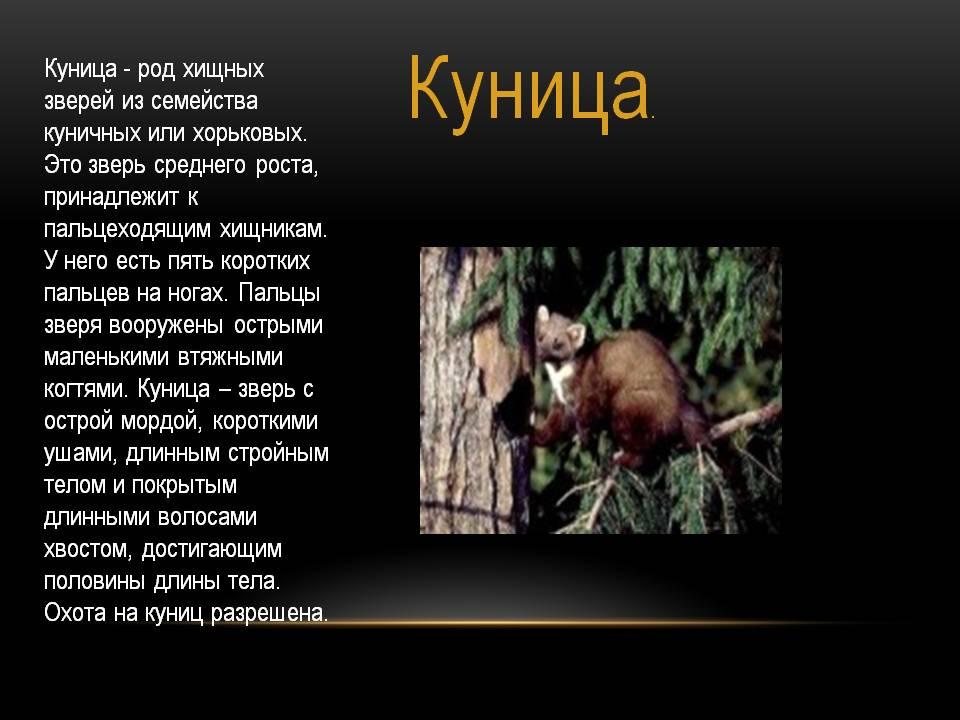 Куница животное. описание, особенности, виды, образ жизни и среда обитания куницы