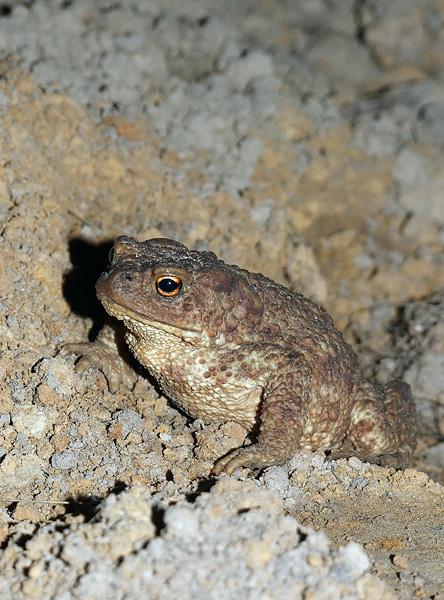 Серая жаба, чем питается, где обитает и как содержать дома