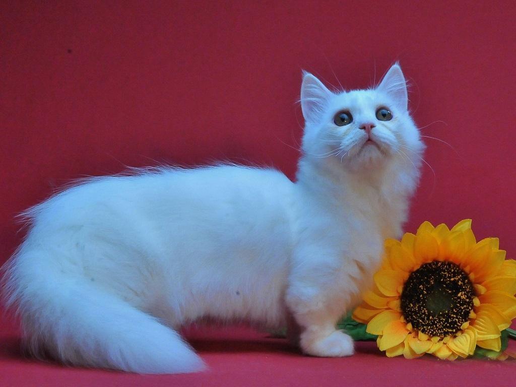 Наполеон (менуэт) — карликовая кошка