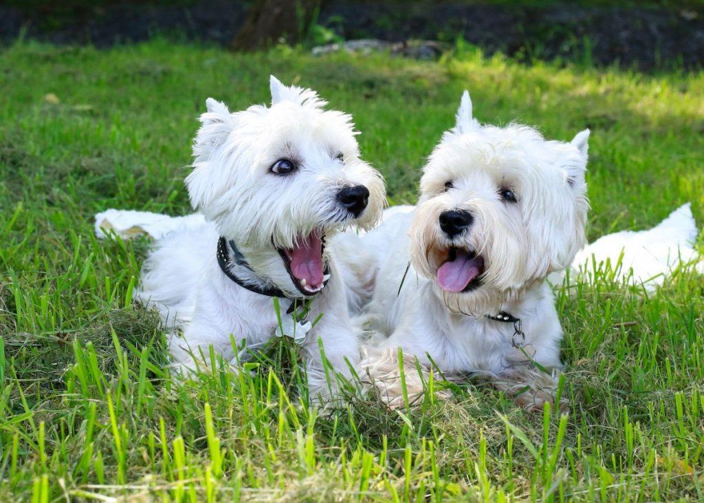 Вест-хайленд-уайт-терьер ???? фото, описание, характер, факты, плюсы, минусы собаки ✔