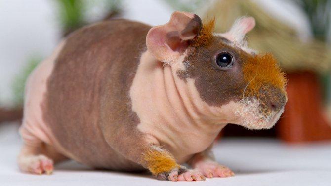 Морская свинка английский селф: характер, размеры, фото