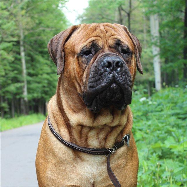 Бульмастиф (64 фото): характеристика породы собак, описание характера щенков и взаимоотношения с человеком. сколько они живут? вес и окрасы