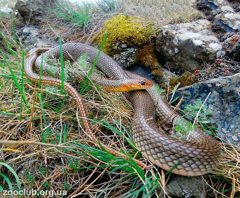 Полоз: виды змеи