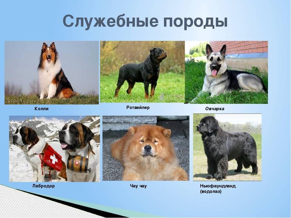 Виды собак. служебные, декоративные, охотничьи, ездовые. описание пород :: syl.ru