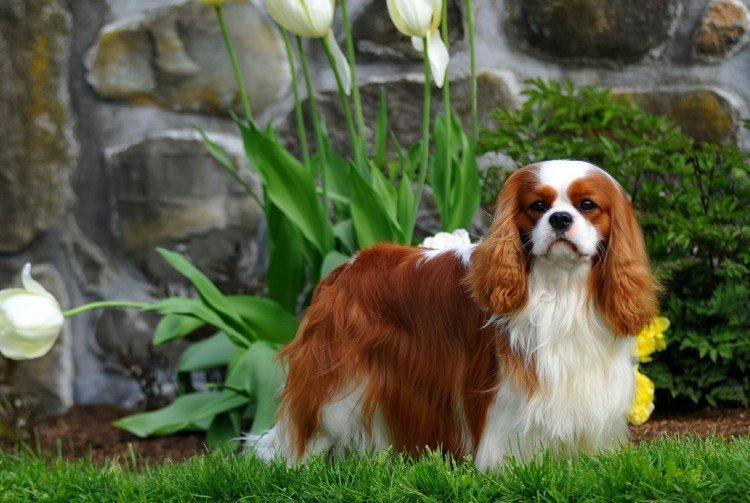 Кавалер кинг чарльз спаниель: фото и описание породы собак кавалер кинг чарльз спаниель: фото и описание породы собак