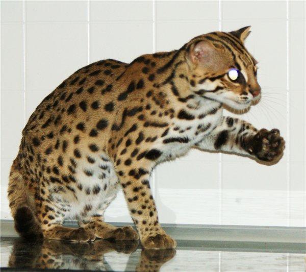 Азиатская табби (125 фото): описание породы, характер котов и котят, факты о содержании и уходе, интересные факты