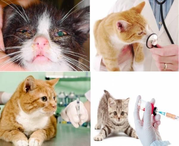 Токсоплазмоз у кошек: симптомы и лечение, диагностика и анализ, опасность для человека, профилактика токсоплазмоза у кошек и людей