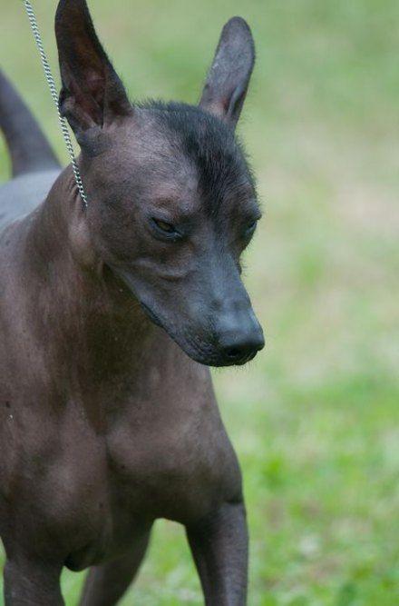 Ксолоитцкуинтли (мексиканская голая собака): описание породы, советы по уходу и содержанию