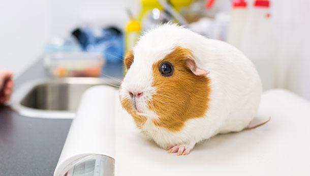 """Причины, диагностика и лечение грибка у морских свинок   блог ветклиники """"беланта"""""""
