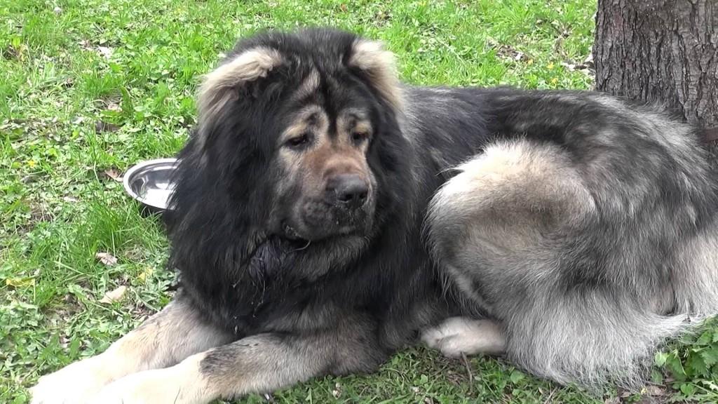 Кавказская овчарка – особенности породы и характер прирожденных охранников