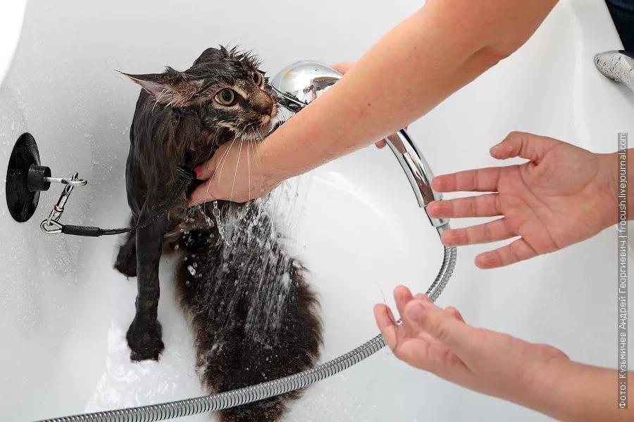 Нужно ли мыть домашних кошек? | страж чистоты