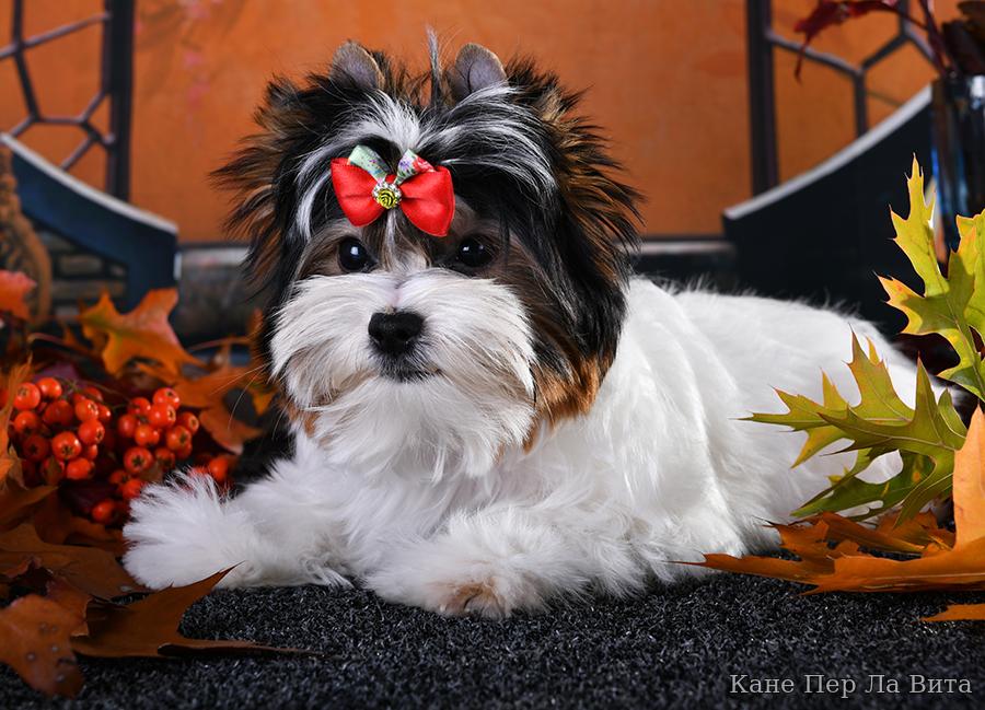 Бивер йорк собака. описание, особенности, уход и цена бивер йорка   sobakagav.ru