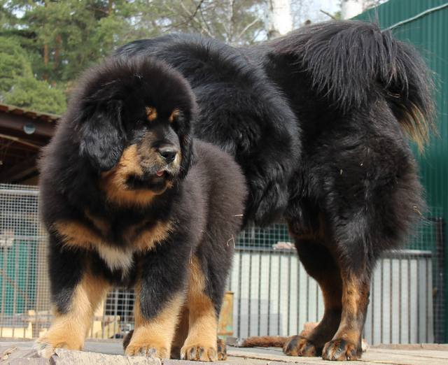 Тибетский мастиф собака. описание, особенности, уход и цена тибетского мастифа