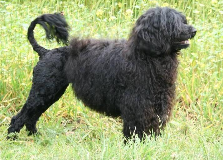 Португальская водяная собака: содержание дома, фото, купить, видео, цена