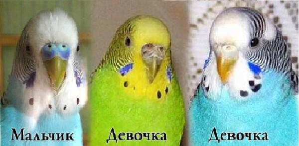 Домашние птицы. как отличить волнистого попугая-мальчика от девочки?