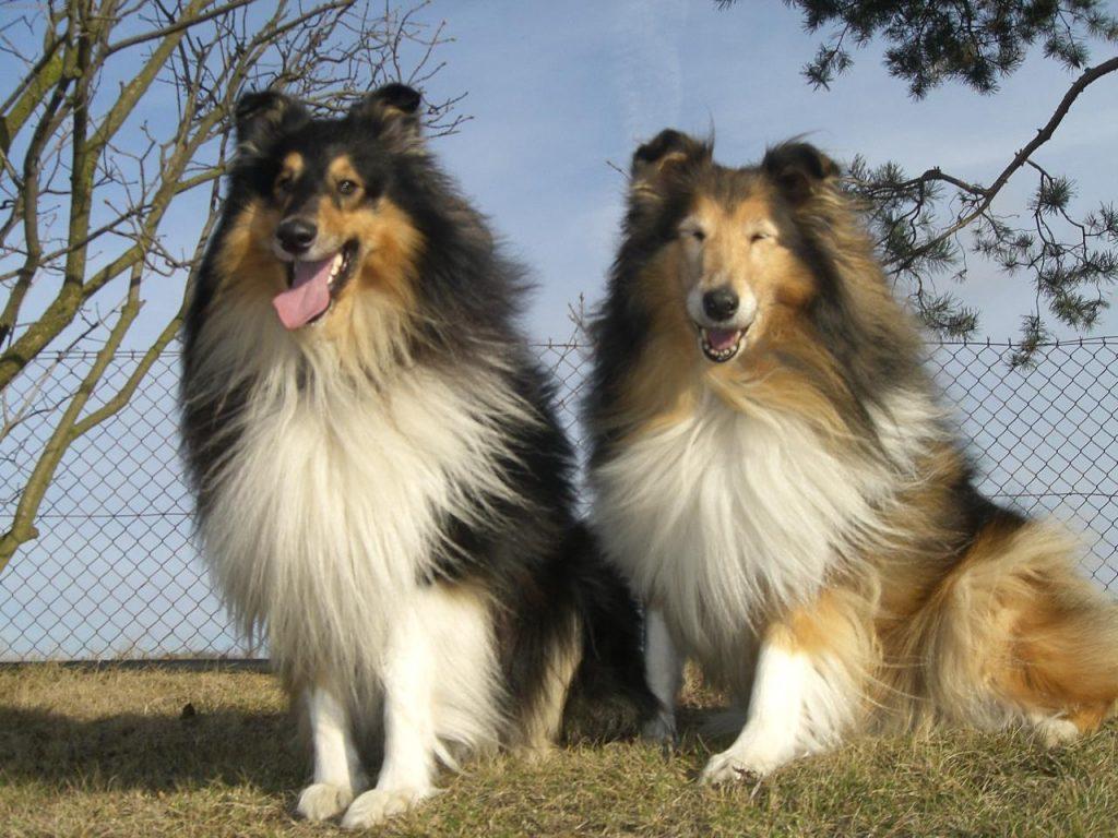 Собака колли: описание породы, характер шотландской овчарки, уход, дрессировка ипитание, фото, цена щенков + отзывы