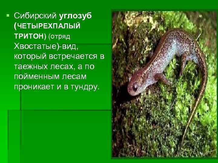 Сибирский углозуб – холоднолюбивый тритон. сибирские углозубы – мелкие многочисленные тритоны сибирский углозуб описание