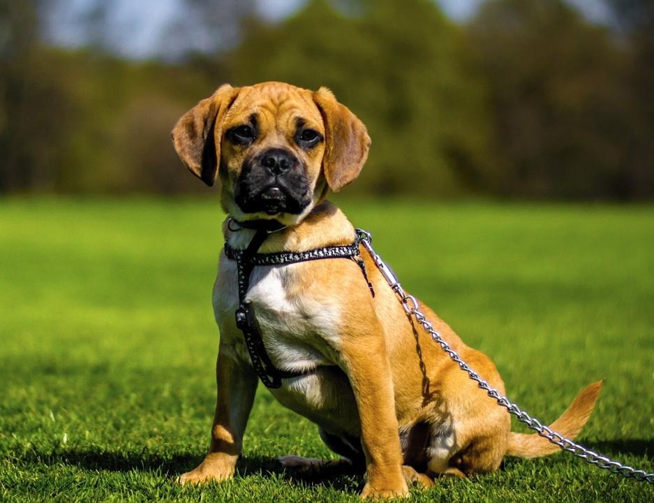 Собака пагль - фото, цена, описание, размеры