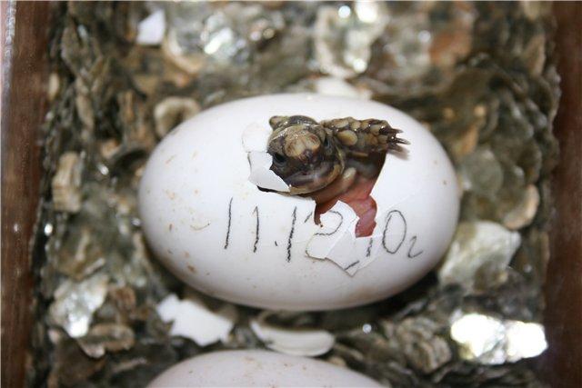 Домашняя черепаха отложила яйца без самца