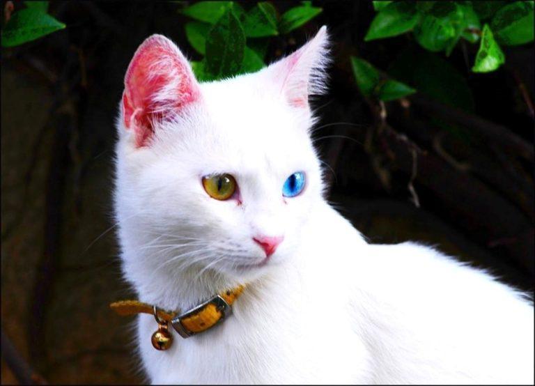Као-мани: как выглядит порода из сиама, характер, фото и цена редких котят