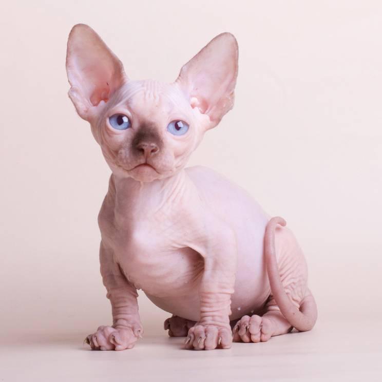 Бамбино порода кошек описание породы