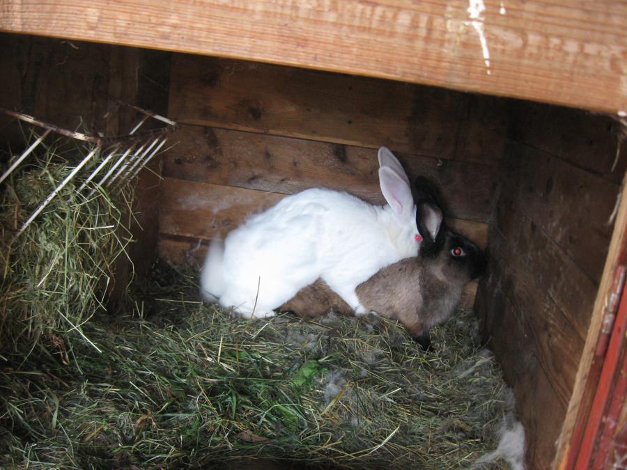 Разведение кроликов на мясо в домашних условиях: как и каких лучше разводить?