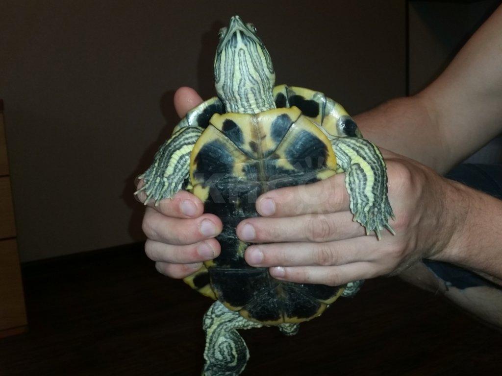 Как определить пол красноухой черепахи, 10 отличий самца от самки