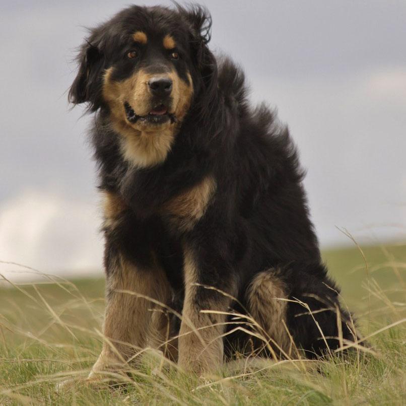 Монгольская овчарка банхар — описание породы, содержание собаки