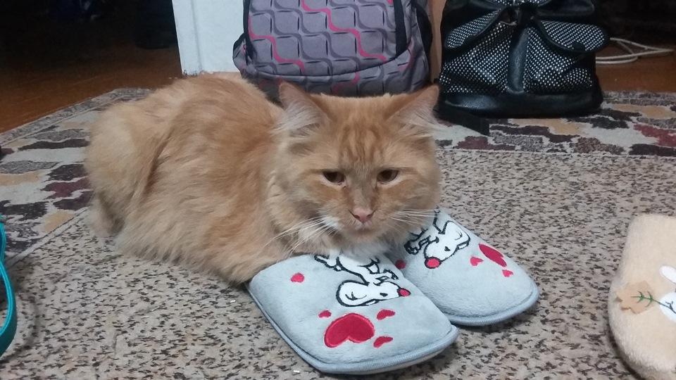 Кот который приносит тапки