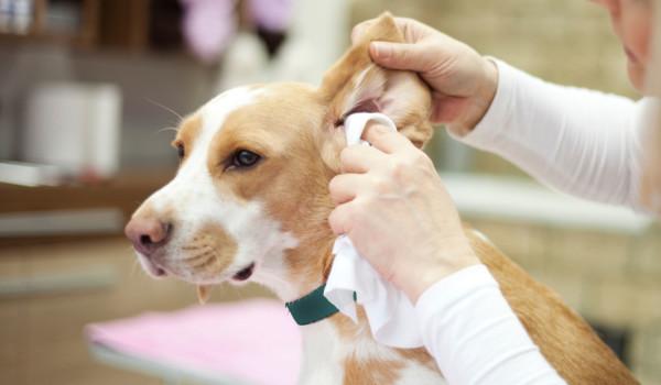 Как чистить уши собаке?