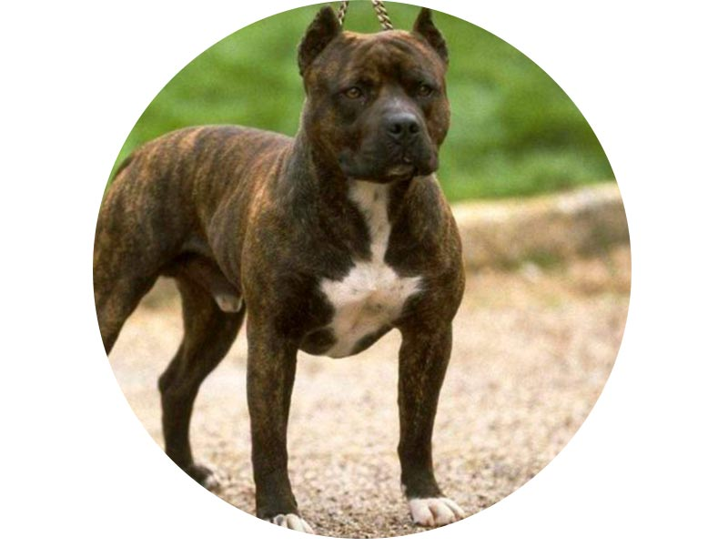 Какие есть отличия между стаффордом и питбультерьером: фото собак, разница в характере и особенности содержания