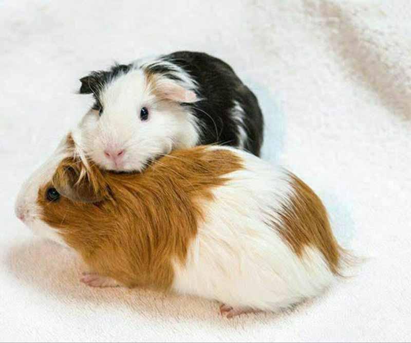 Морские свинки интересные факты для детей