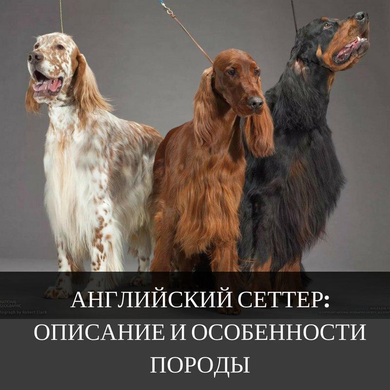 Порода собак под названием сеттер: все разновидности с фотографиями и краткой характеристикой