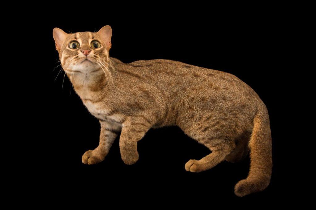 Мал да удал: самые маленькие дикие кошки