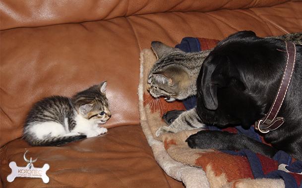Как подружить в одной квартире двух кошек, котов или котят