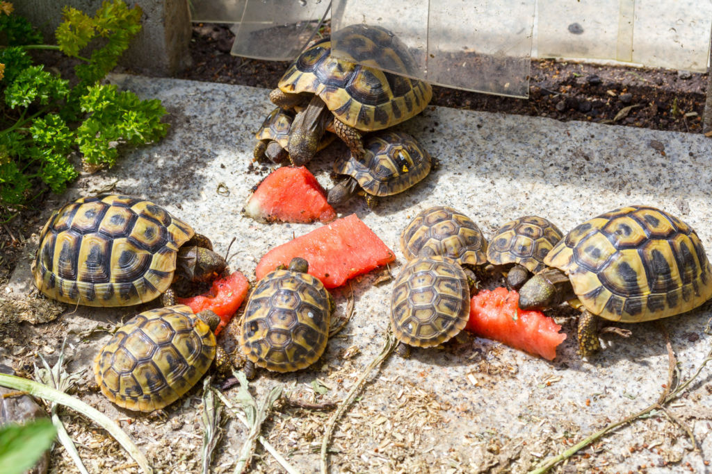 Чем кормить сухопутную черепаху? нужно ли поить сухопутную черепаху в домашних условиях?