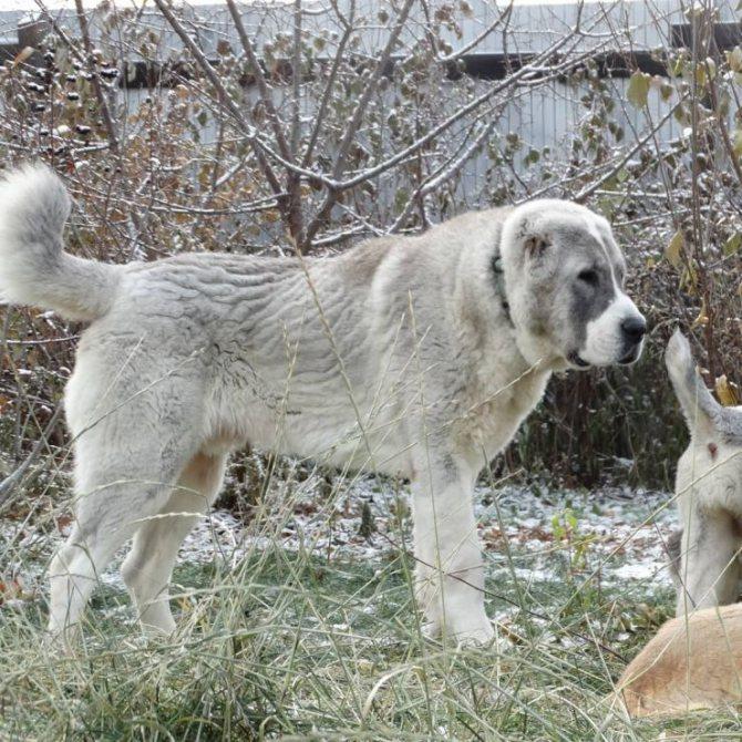 Турецкий кангал (анаталийский карабаш): описание породы собаки
