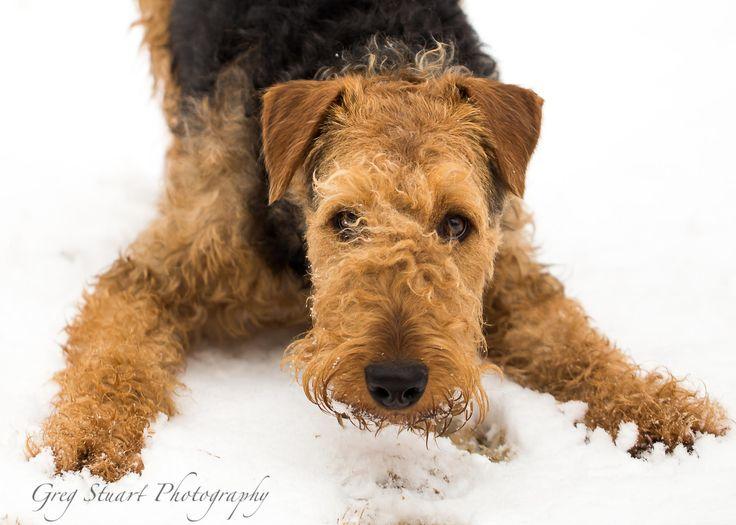 Эрдельтерьер (77 фото): описание породы, рост и вес щенков. содержание карликовых собак. отзывы владельцев
