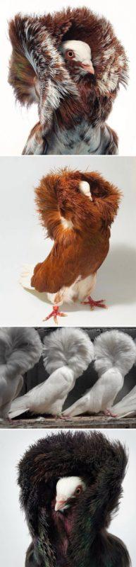 Красивые и дорогие породы голубей